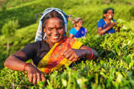 Tamil women collecting tea leaves in Southern India, Kerala. India is one of the largest tea producers in the world, though over 70% of the tea is consumed within India itself.