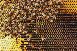 Honeybees swarm around their Queen as she lays eggs inside a beehive.