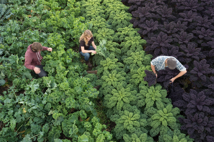 Three agricultural workers pick organic produce planted neatly in rows in a field. Green and purple kale leaves and other vegetables fill the frame, looking healthy and natural